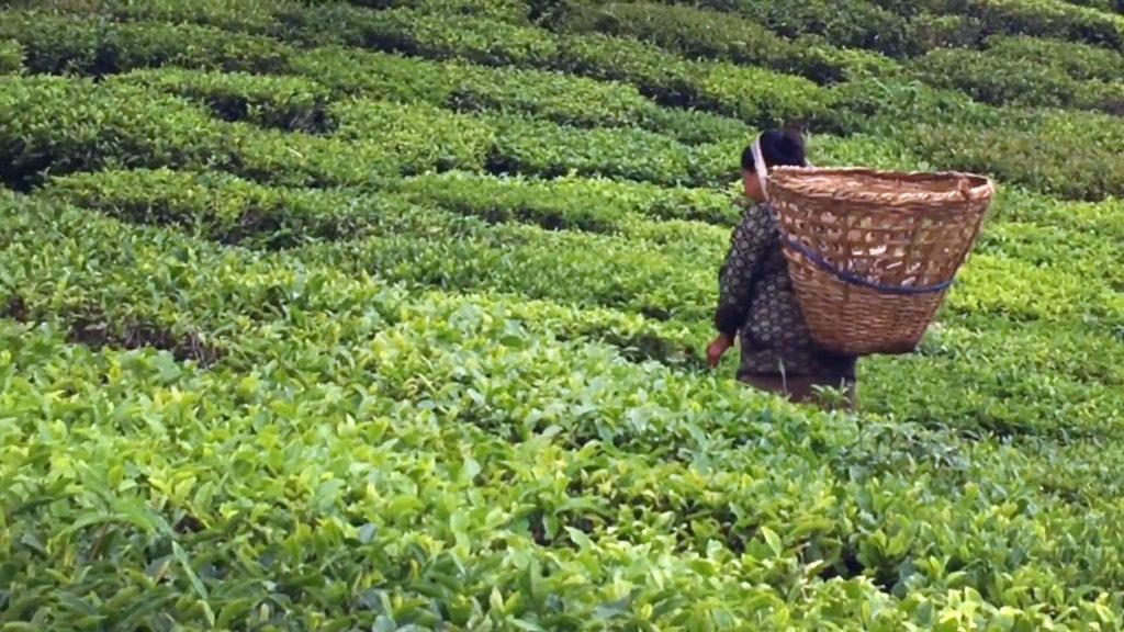 Sikkim – Tea Garden