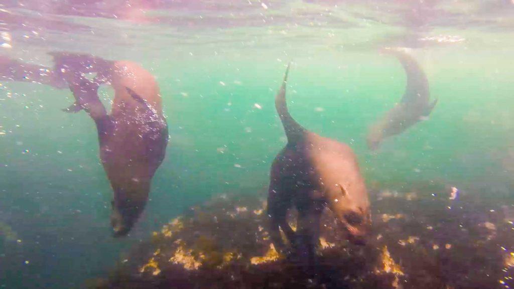 Tauchen mit Robben